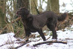 Braune Deutsch Langhaar steht im Schnee im Wald
