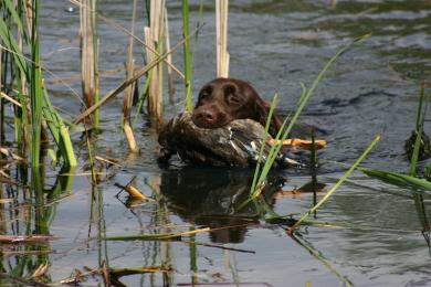 Deutsch Langhaar Suko bei der Entenarbeit im Wasser mit Ente im Fang